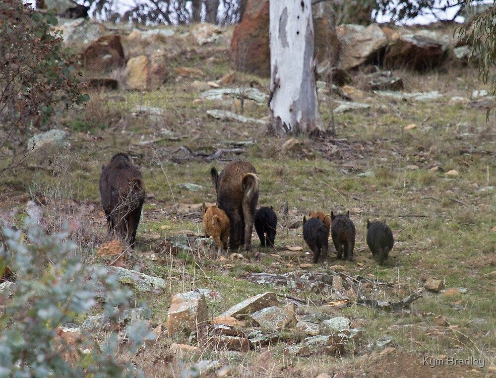 A Sow's  Day Out with Piglets  Wild Pigs by Kym Bradley