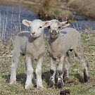 We are Not Identical  Twin Lambs by Kym Bradley