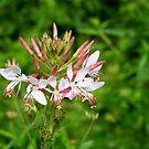 Wild Flowers in our Garden by Paula Tohline  Calhoun