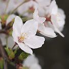 Dogwood Blossom by Jane Jenkins