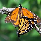 Monarchs Mating by lorilee