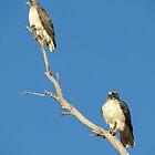 Red-tailed Hawks ~ Breeding Pair  by Kimberly Chadwick