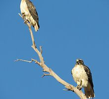 Red-tailed Hawks ~ Breeding Pair  by Kimberly Chadwick