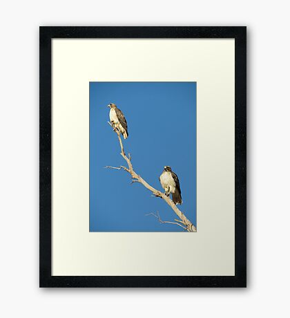 Red-tailed Hawks ~ Breeding Pair  Framed Print
