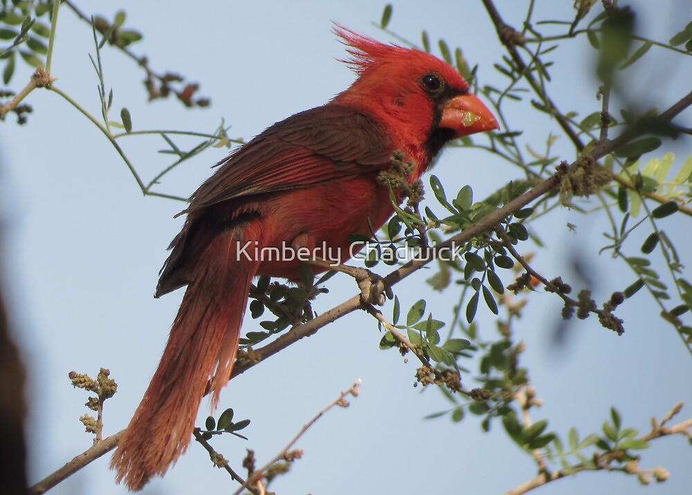 Northern Cardinal~ Male by Kimberly Chadwick