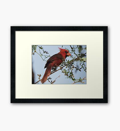 Northern Cardinal~ Male Framed Print