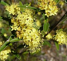 Yellow Native flower, bush track, Warrumbungle N. Park. Coonabarabran. N.S.W. by Rita Blom