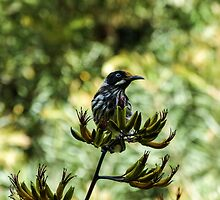 Honeyeater by Louise Delahunty