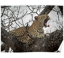 Yawning Leopard Poster