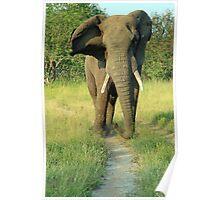 An African Bull Elephant Poster