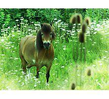 Hillbilly Horse funny Exmoor Pony photograph Photographic Print