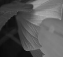 Hibiscus III ( b&w series)  by Jeff Stroud
