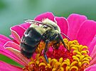 Bumble Bee on my Zinnia by Susan S. Kline