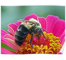 Bumble Bee on my Zinnia Poster