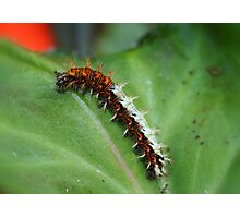 Comma Butterfly Caterpillar Photographic Print