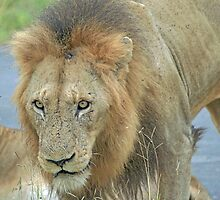 An African Lion by DRWilliams