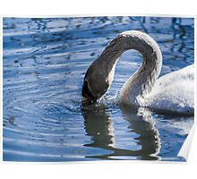 Swan drinking water Poster