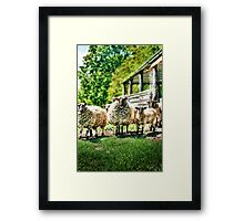 Sheep on the farm Framed Print