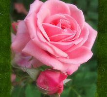 Pink Roses in Anzures 2 Blank P1F0 by Christopher Johnson