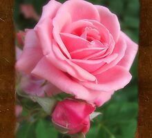 Pink Roses in Anzures 2 Blank P3F0 by Christopher Johnson