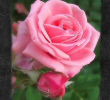 Pink Roses in Anzures 2 Blank P4F0 by Christopher Johnson