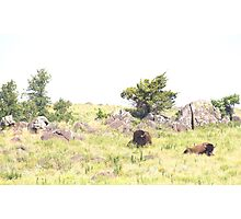 Buffalo Pair Photographic Print
