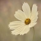 White Cosmos! by KatMagic Photography