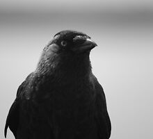jackdaw by Gary Sutton
