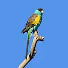Hooded Parrot taken along the road to Edith Falls - NT by Alwyn Simple