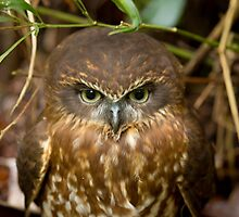 Southern Boobook Owl by Cameron B