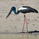 Black Necked Stork at Longreach Waterloles near Elliott in NT. by Alwyn Simple