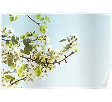 Cherry Blossom Poster