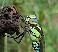 Southern Hawker, 20 by Magic-Moments