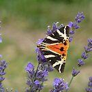 lavender summer by lukasdf