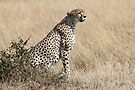 Looking About, Cheetah, Maasai Mara, Kenya by Carole-Anne