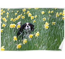 Daffodil Dasky Poster