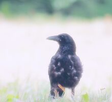 Curious Crow by Mustafa Sural