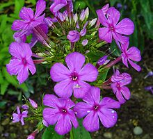 Autumn Phlox by PineSinger