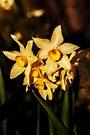 Narcissus Jonquilla by Deborah McGrath