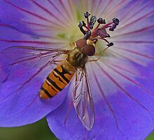 Marmalade Fly by MikeSquires