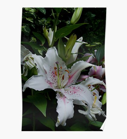 Oriental Lilies Poster