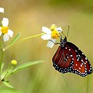 FLORIDA VICEROY BUTTERFLY by TomBaumker
