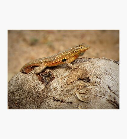 Common Side-blotched Lizard (Male) Photographic Print