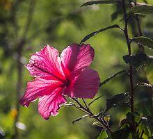 Hibiscus by Deanna Heitschmidt