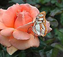 Peach Rose by Irene  Burdell