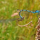 Blue Damselfly 06 by Magic-Moments