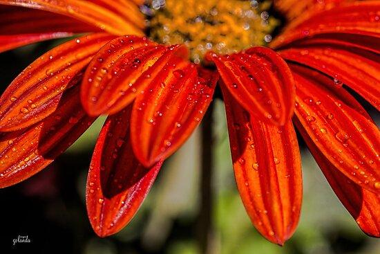 Orange Drops by yolanda