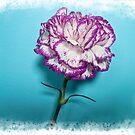 Carnation  by Forfarlass