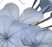Pale Blue Plumbago Isolated on White Background Sticker