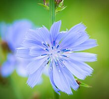 Chicory Flower by Ralph Goldsmith